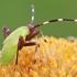 Žolblakės - Adelphocoris sp. nimfa | Fotografijos autorius : Gintautas Steiblys | © Macrogamta.lt | Šis tinklapis priklauso bendruomenei kuri domisi makro fotografija ir fotografuoja gyvąjį makro pasaulį.