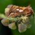 Žolinis žvilgūnas - Plusia putnami | Fotografijos autorius : Žilvinas Pūtys | © Macrogamta.lt | Šis tinklapis priklauso bendruomenei kuri domisi makro fotografija ir fotografuoja gyvąjį makro pasaulį.