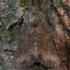 Žolinis stiebinukas - Oligia strigilis | Fotografijos autorius : Žilvinas Pūtys | © Macrogamta.lt | Šis tinklapis priklauso bendruomenei kuri domisi makro fotografija ir fotografuoja gyvąjį makro pasaulį.