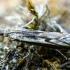 Baltadryžis čiuopiklinukas - Platytes alpinella | Fotografijos autorius : Oskaras Venckus | © Macrogamta.lt | Šis tinklapis priklauso bendruomenei kuri domisi makro fotografija ir fotografuoja gyvąjį makro pasaulį.