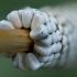 Žolinis verpikas - Malacosoma castrensis, kiaušiniai   Fotografijos autorius : Žilvinas Pūtys   © Macrogamta.lt   Šis tinklapis priklauso bendruomenei kuri domisi makro fotografija ir fotografuoja gyvąjį makro pasaulį.