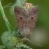 Žvilgrudis vėlyvis - Agrochola lota   Fotografijos autorius : Žilvinas Pūtys   © Macrogamta.lt   Šis tinklapis priklauso bendruomenei kuri domisi makro fotografija ir fotografuoja gyvąjį makro pasaulį.