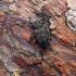 Acanthocinus aedilis (Linnaeus, 1758) | Fotografijos autorius : Vitalii Alekseev | © Macrogamta.lt | Šis tinklapis priklauso bendruomenei kuri domisi makro fotografija ir fotografuoja gyvąjį makro pasaulį.