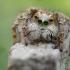 Aelurillus concolor ♂ | Fotografijos autorius : Armen Seropian | © Macrogamta.lt | Šis tinklapis priklauso bendruomenei kuri domisi makro fotografija ir fotografuoja gyvąjį makro pasaulį.