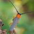 Akiuotasis šerdgraužis - Oberea oculata | Fotografijos autorius : Gintautas Steiblys | © Macrogamta.lt | Šis tinklapis priklauso bendruomenei kuri domisi makro fotografija ir fotografuoja gyvąjį makro pasaulį.