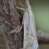Akiuotasis žolinis ugniukas - Euchromius ocellea | Fotografijos autorius : Arūnas Eismantas | © Macrogamta.lt | Šis tinklapis priklauso bendruomenei kuri domisi makro fotografija ir fotografuoja gyvąjį makro pasaulį.