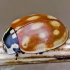 Akiuotoji boružė - Anatis ocellata | Fotografijos autorius : Kazimieras Martinaitis | © Macrogamta.lt | Šis tinklapis priklauso bendruomenei kuri domisi makro fotografija ir fotografuoja gyvąjį makro pasaulį.