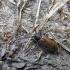 Rudasis karklenis - Anaesthetis testacea (Fabricius, 1781) | Fotografijos autorius : Vitalii Alekseev | © Macrogamta.lt | Šis tinklapis priklauso bendruomenei kuri domisi makro fotografija ir fotografuoja gyvąjį makro pasaulį.