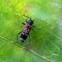 Kaukėtasis raižūnas - Anaglyptus mysticus (Linnaeus, 1758) | Fotografijos autorius : Vitalii Alekseev | © Macrogamta.lt | Šis tinklapis priklauso bendruomenei kuri domisi makro fotografija ir fotografuoja gyvąjį makro pasaulį.