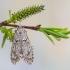 Ankstyvoji diurnėja - Diurnea fagella | Fotografijos autorius : Vaida Paznekaitė | © Macrogamta.lt | Šis tinklapis priklauso bendruomenei kuri domisi makro fotografija ir fotografuoja gyvąjį makro pasaulį.