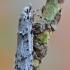 Ankstyvoji diurnėja - Diurnea fagella | Fotografijos autorius : Arūnas Eismantas | © Macrogamta.lt | Šis tinklapis priklauso bendruomenei kuri domisi makro fotografija ir fotografuoja gyvąjį makro pasaulį.