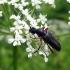 Juodasis žieduolis - Anoplodera rufipes (Schaller, 1783) | Fotografijos autorius : Vitalii Alekseev | © Macrogamta.lt | Šis tinklapis priklauso bendruomenei kuri domisi makro fotografija ir fotografuoja gyvąjį makro pasaulį.