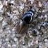 Afodijus - Melinopterus prodromus | Fotografijos autorius : Vitalii Alekseev | © Macrogamta.lt | Šis tinklapis priklauso bendruomenei kuri domisi makro fotografija ir fotografuoja gyvąjį makro pasaulį.