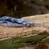 Apsiuva - Phrygaena grandis ♀ | Fotografijos autorius : Romas Ferenca | © Macrogamta.lt | Šis tinklapis priklauso bendruomenei kuri domisi makro fotografija ir fotografuoja gyvąjį makro pasaulį.