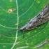 Apsiuva - Phryganea grandis ♂ | Fotografijos autorius : Gintautas Steiblys | © Macrogamta.lt | Šis tinklapis priklauso bendruomenei kuri domisi makro fotografija ir fotografuoja gyvąjį makro pasaulį.