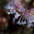 Apskritalapė saulašarė - Drosera rotundifolia | Fotografijos autorius : Zita Gasiūnaitė | © Macrogamta.lt | Šis tinklapis priklauso bendruomenei kuri domisi makro fotografija ir fotografuoja gyvąjį makro pasaulį.