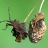 Arkliarūgštinė kampuotblakė - Coreus marginatus (nimfa) | Fotografijos autorius : Vidas Brazauskas | © Macrogamta.lt | Šis tinklapis priklauso bendruomenei kuri domisi makro fotografija ir fotografuoja gyvąjį makro pasaulį.