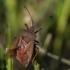 Arkliarūgštinė kampuotblakė - Coreus marginatus | Fotografijos autorius : Dalia Račkauskaitė | © Macrogamta.lt | Šis tinklapis priklauso bendruomenei kuri domisi makro fotografija ir fotografuoja gyvąjį makro pasaulį.