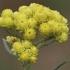 Smėlyninis šlamutis - Helichrysum arenarium   Fotografijos autorius : Gintautas Steiblys   © Macrogamta.lt   Šis tinklapis priklauso bendruomenei kuri domisi makro fotografija ir fotografuoja gyvąjį makro pasaulį.