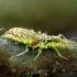 Auksaakė - Chrysoperla carnea, lerva | Fotografijos autorius : Romas Ferenca | © Macrogamta.lt | Šis tinklapis priklauso bendruomenei kuri domisi makro fotografija ir fotografuoja gyvąjį makro pasaulį.