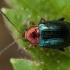 Auksiškoji puošniaspragė - Crepidodera aurata   Fotografijos autorius : Žilvinas Pūtys   © Macrogamta.lt   Šis tinklapis priklauso bendruomenei kuri domisi makro fotografija ir fotografuoja gyvąjį makro pasaulį.