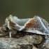 Avietinis pūkanugaris - Habrosyne pyritoides | Fotografijos autorius : Žilvinas Pūtys | © Macrogamta.lt | Šis tinklapis priklauso bendruomenei kuri domisi makro fotografija ir fotografuoja gyvąjį makro pasaulį.