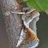 Avietinis pūkanugaris - Habrosyne pyritoides   Fotografijos autorius : Arūnas Eismantas   © Macrogamta.lt   Šis tinklapis priklauso bendruomenei kuri domisi makro fotografija ir fotografuoja gyvąjį makro pasaulį.