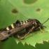 Avietinis stiklasparnis - Pennisetia hylaeiformis | Fotografijos autorius : Vidas Brazauskas | © Macrogamta.lt | Šis tinklapis priklauso bendruomenei kuri domisi makro fotografija ir fotografuoja gyvąjį makro pasaulį.