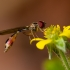 Žiedmusė - Baccha elongata | Fotografijos autorius : Eglė Vičiuvienė | © Macrogamta.lt | Šis tinklapis priklauso bendruomenei kuri domisi makro fotografija ir fotografuoja gyvąjį makro pasaulį.