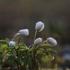 Baltažiedė plukė - Anemone nemorosa | Fotografijos autorius : Agnė Našlėnienė | © Macrogamta.lt | Šis tinklapis priklauso bendruomenei kuri domisi makro fotografija ir fotografuoja gyvąjį makro pasaulį.