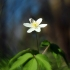 Baltažiedė plukė - Anemone nemorosa   Fotografijos autorius : Vidas Brazauskas   © Macrogamta.lt   Šis tinklapis priklauso bendruomenei kuri domisi makro fotografija ir fotografuoja gyvąjį makro pasaulį.