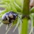 Baltadėmės urvablakės nimfa   Pied shield bug   Tritomegas bicolor   Fotografijos autorius : Darius Baužys   © Macrogamta.lt   Šis tinklapis priklauso bendruomenei kuri domisi makro fotografija ir fotografuoja gyvąjį makro pasaulį.
