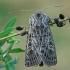 Baltagyslis pelėdgalvis - Tholera decimalis | Fotografijos autorius : Gintautas Steiblys | © Macrogamta.lt | Šis tinklapis priklauso bendruomenei kuri domisi makro fotografija ir fotografuoja gyvąjį makro pasaulį.