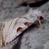 Baltajuostė eukarta - Eucarta virgo | Fotografijos autorius : Romas Ferenca | © Macrogamta.lt | Šis tinklapis priklauso bendruomenei kuri domisi makro fotografija ir fotografuoja gyvąjį makro pasaulį.