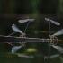 Baltakojė strėliukė - Platycnemis pennipes | Fotografijos autorius : Agnė Našlėnienė | © Macrogamta.lt | Šis tinklapis priklauso bendruomenei kuri domisi makro fotografija ir fotografuoja gyvąjį makro pasaulį.
