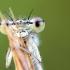 Baltakojė strėliukė   Fotografijos autorius : Darius Baužys   © Macrogamta.lt   Šis tinklapis priklauso bendruomenei kuri domisi makro fotografija ir fotografuoja gyvąjį makro pasaulį.