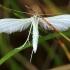 Baltasis pirštasparnis - Pterophorus pentadactyla | Fotografijos autorius : Ramunė Vakarė | © Macrogamta.lt | Šis tinklapis priklauso bendruomenei kuri domisi makro fotografija ir fotografuoja gyvąjį makro pasaulį.