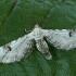Baltasis sprindytis - Eupithecia centaureata | Fotografijos autorius : Gintautas Steiblys | © Macrogamta.lt | Šis tinklapis priklauso bendruomenei kuri domisi makro fotografija ir fotografuoja gyvąjį makro pasaulį.