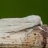 Baltasparnis strėlinukas - Simyra albovenosa | Fotografijos autorius : Žilvinas Pūtys | © Macrogamta.lt | Šis tinklapis priklauso bendruomenei kuri domisi makro fotografija ir fotografuoja gyvąjį makro pasaulį.