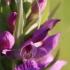 Baltijinė gegūnė - Dactylorhiza longifolia | Fotografijos autorius : Agnė Našlėnienė | © Macrogamta.lt | Šis tinklapis priklauso bendruomenei kuri domisi makro fotografija ir fotografuoja gyvąjį makro pasaulį.