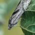 Baltoji eukosma - Eucosma metzneriana | Fotografijos autorius : Gintautas Steiblys | © Macrogamta.lt | Šis tinklapis priklauso bendruomenei kuri domisi makro fotografija ir fotografuoja gyvąjį makro pasaulį.