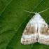 Baltoji nolija - Meganola albula | Fotografijos autorius : Vaida Paznekaitė | © Macrogamta.lt | Šis tinklapis priklauso bendruomenei kuri domisi makro fotografija ir fotografuoja gyvąjį makro pasaulį.