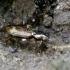 Barzdukžygis - Notaphus dentellum | Fotografijos autorius : Romas Ferenca | © Macrogamta.lt | Šis tinklapis priklauso bendruomenei kuri domisi makro fotografija ir fotografuoja gyvąjį makro pasaulį.