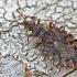 Beržinė žieviablakė - Aradus betulae | Fotografijos autorius : Gintautas Steiblys | © Macrogamta.lt | Šis tinklapis priklauso bendruomenei kuri domisi makro fotografija ir fotografuoja gyvąjį makro pasaulį.
