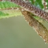 Beržinė makštikandė - Coleophora serratella, vikšro namelis  | Fotografijos autorius : Gintautas Steiblys | © Macrogamta.lt | Šis tinklapis priklauso bendruomenei kuri domisi makro fotografija ir fotografuoja gyvąjį makro pasaulį.