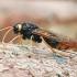 Beržinis ragauodegis - Tremex fuscicornis | Fotografijos autorius : Gintautas Steiblys | © Macrogamta.lt | Šis tinklapis priklauso bendruomenei kuri domisi makro fotografija ir fotografuoja gyvąjį makro pasaulį.