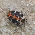 Bervidinis kailiavabalis - Anthrenus scrophulariae | Fotografijos autorius : Kazimieras Martinaitis | © Macrogamta.lt | Šis tinklapis priklauso bendruomenei kuri domisi makro fotografija ir fotografuoja gyvąjį makro pasaulį.
