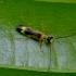 Besotis minkštavabalis - Malthinus flaveolus | Fotografijos autorius : Romas Ferenca | © Macrogamta.lt | Šis tinklapis priklauso bendruomenei kuri domisi makro fotografija ir fotografuoja gyvąjį makro pasaulį.