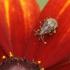 Ryškiapilvė kampuotblakė - Stictopleurus punctatonervosus | Fotografijos autorius : Vidas Brazauskas | © Macrogamta.lt | Šis tinklapis priklauso bendruomenei kuri domisi makro fotografija ir fotografuoja gyvąjį makro pasaulį.