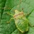 Gudobelinė skydblakė - Acanthosoma haemorrhoidale, nimfa | Fotografijos autorius : Vidas Brazauskas | © Macrogamta.lt | Šis tinklapis priklauso bendruomenei kuri domisi makro fotografija ir fotografuoja gyvąjį makro pasaulį.